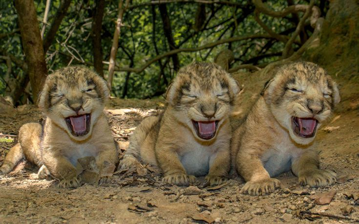 Asiatic lion cubs sit near their den in the Khutani area of the sanctuary in the Junagadh region of Gujarat.