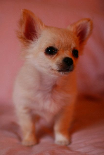"""12 Things You Didn't Know About the Chihuahua: They Only Come in One Size - The Chihuahua Club of America has an entire article dedicated to this """"debate"""". While small Chihuahuas are born, there are no recognized sizes of Chihuahua; they come in just one size and are classified as """"toys"""". The club is concerned that some people may use  words such as teacup, pocket sized, tiny toy, etc., in order to charge a higher price for puppies. (http://www.chihuahuaclubofamerica.com/)"""