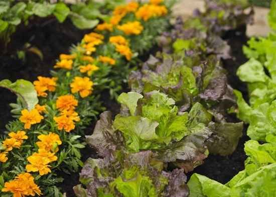 Do You Want To Garden Organically? Then Here Are Our 10 Flowers To Grow  With Vegetables. Called Companion Planting They Help Deter Pests And  Encourage ...