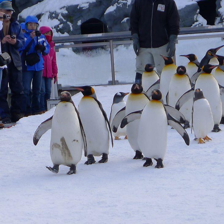 Penguins take a walk at Asahiyama Zoo, Japan