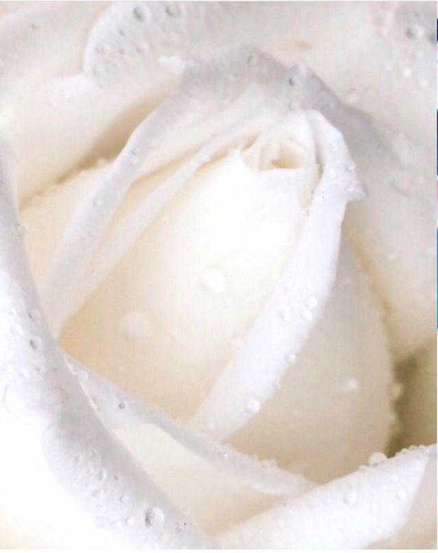 White Rose Photo: Bente Kristin