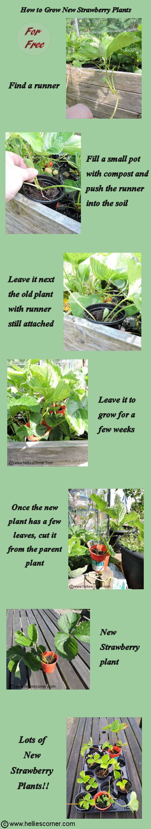 How To Grow New Strawberry Plants - for free | Hellie's Corner http://www.helliescorner.com/?p=3936