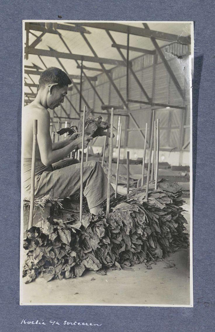Anonymous | Indische man sorteert tabak in schuur op Sumatra, Anonymous, c. 1900 - c. 1920 | Onderdeel van Reisalbum met foto's van bedrijvigheid en bezienswaardigheden op Sumatra en Java en van de reis naar en van Nederlands-Indië.