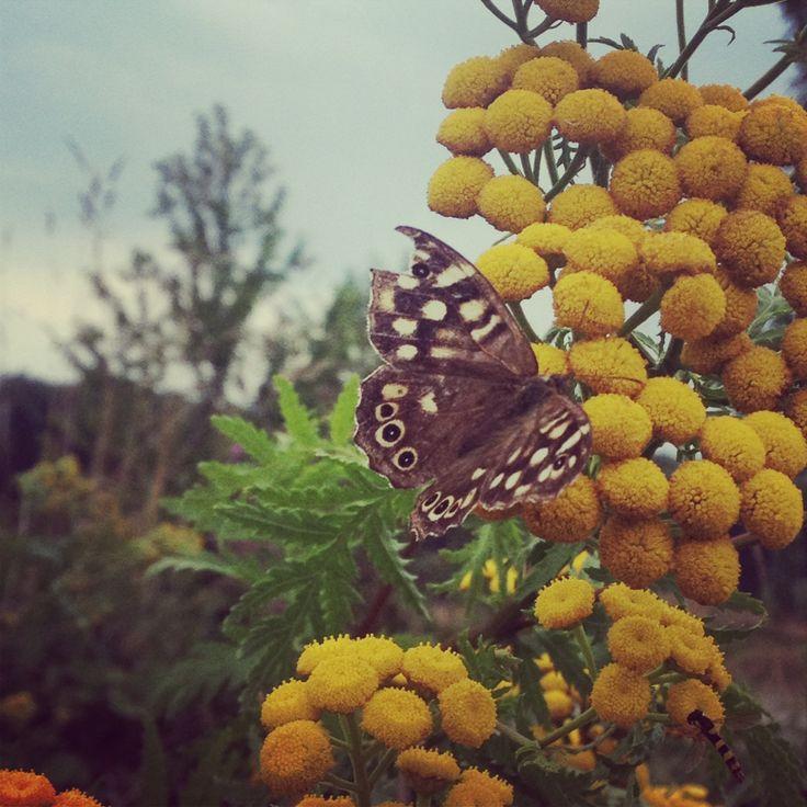 Een vlinder snoept van de boerenwormkruid