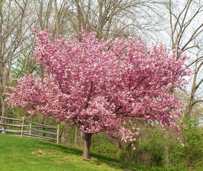 Kwanzan Flowering Cherry In 2020 Flowering Cherry Tree Ornamental Cherry Cherry Tree