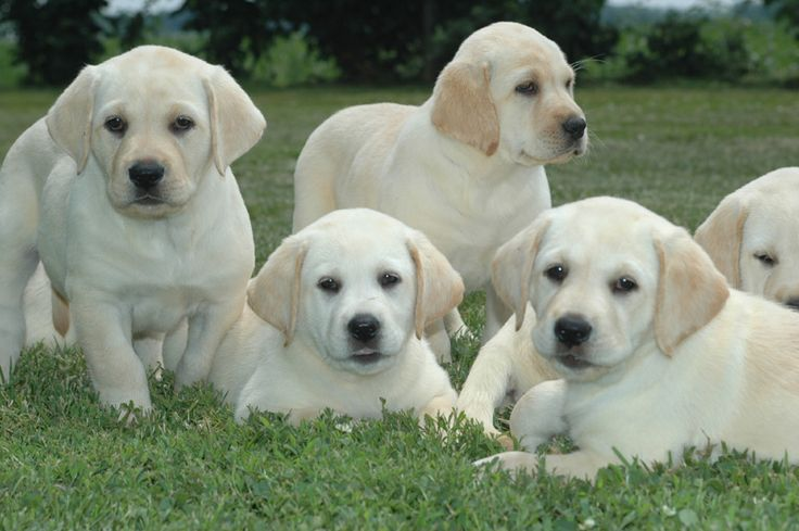 Puppies for sale - Labrador Retrievers, Labs, Labradors ** Labradoodles - Breeders and Private Parties in Meppen, Illinois