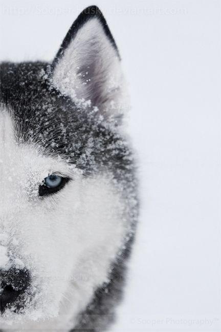 Siberian Husky, Alpha 8592 by Sooper-Husky love huskey eyes! what beautiful dogs, n so smart!