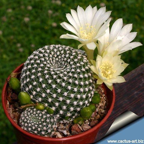 Rebutia krainziana albiflora