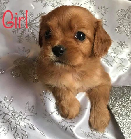 Litter of 7 Cavalier King Charles Spaniel-Shorkie Tzu Mix puppies for sale in LANSING, NY. ADN-53596 on PuppyFinder.com Gender: Male(s) and Female(s). Age: 4 Weeks Old