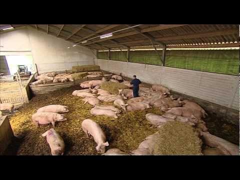 Zo doden Nederlandse slachters jaarlijks miljoenen varkens   NOS