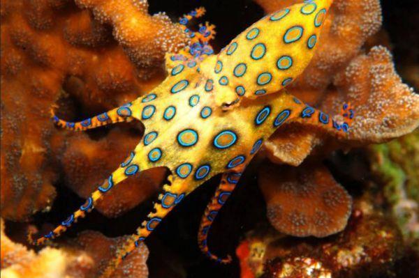 Animaux rares - La pieuvre à anneaux bleus