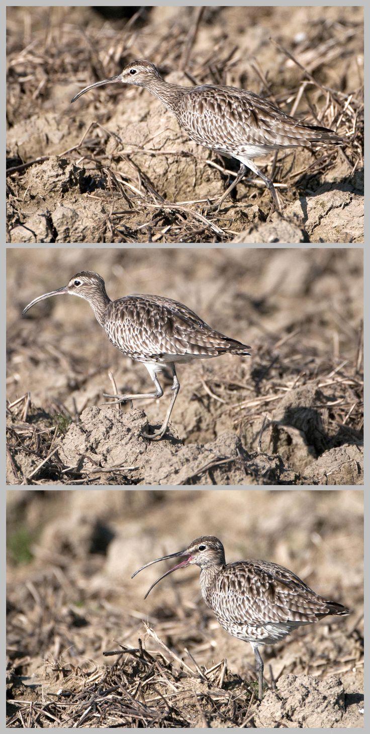 (Numenius phaeopus, Linnaeus 1758) Chiurlo piccolo dalla macchina 15 m di distanza Migliarino (Pisa), Marzo 2014,  Nikon D300 con Nikon 200/400 mm f/4 iso 640 #guidofrilli