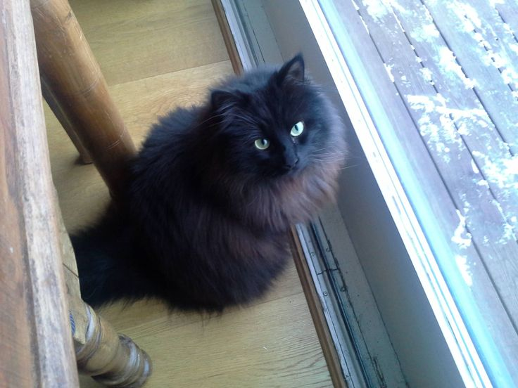 black norwegian forest cat pictures - AVG Yahoo Search Results