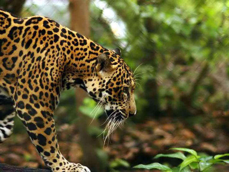 Jaguar Predator Black Animal Muzzle Art Wallpaper: 35 Best Images About Jaguar On Pinterest