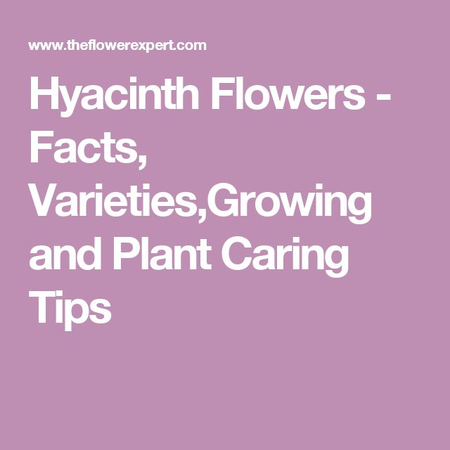 Hyacinth Flowers - Facts, Varieties,Growing and Plant Caring Tips