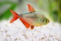 columbian tetra #tropicalfishaquarium #TropicalFishAquariumIdeas