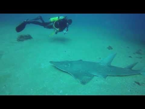 ▶ Scuba Diving SS Yongala Shipwreck with Guitarfish and Sea Snake - YouTube