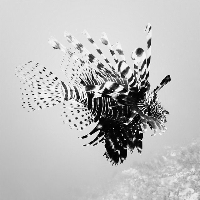 Black and White Underwater Photography by Hengki Koentjoro underwater ocean Indonesia black and white