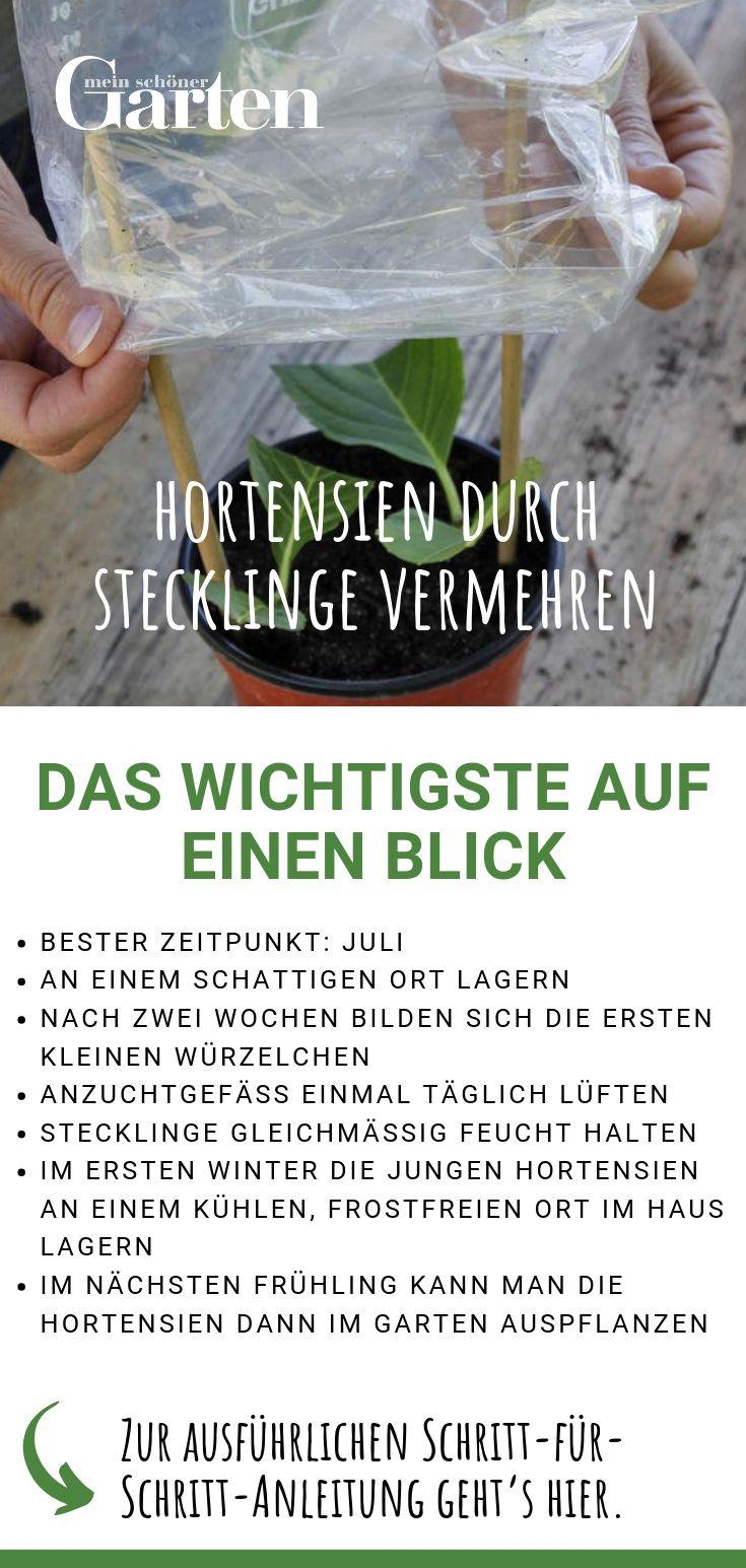 Hortensien durch Stecklinge vermehren: Das Wichtigste auf einen Blick