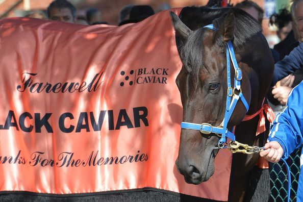 Black Caviar Photos Photos - Black Caviar who was retired from racing during the week walks around the track with her regular strapper Donna Fisher for her final farewell from the racetrack during Melbourne racing at Caulfield Racecourse on April 20, 2013 in Melbourne, Australia. - Melbourne Racing