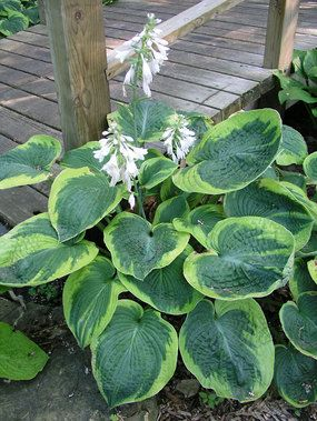 "Hosta Frances Williams Hosta sieboldiana Funkia, Plantain Lily Type: Perennial Height: Medium 22"" (30"" in flower) (Plant 24"" apart) Bloom Time: Summer to Late Summer  Sun-Shade: Mostly Sunny to Full Shade  Zones: 3-8  Soil Condition: Normal, Acidic  Flower Color: White BluestonePerennials.com for $9.95."