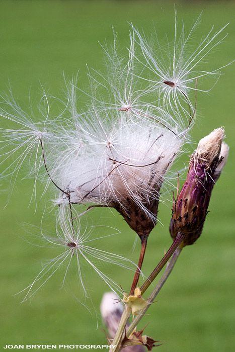 Creeping thistle seed head