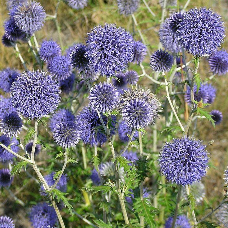 Echinops ritro - Boule azurée - Chardon bleu