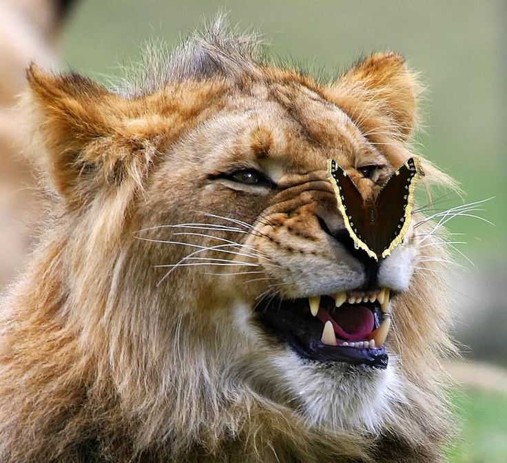 * * This lion is delighted, and it's great to see  a lion happy even for a few seconds.
