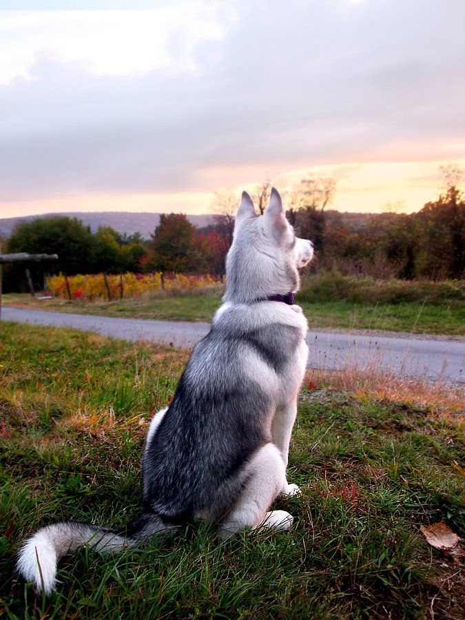 Siberian Husky. What a regal look from this fellow. Do you think he is watching the sun come up?
