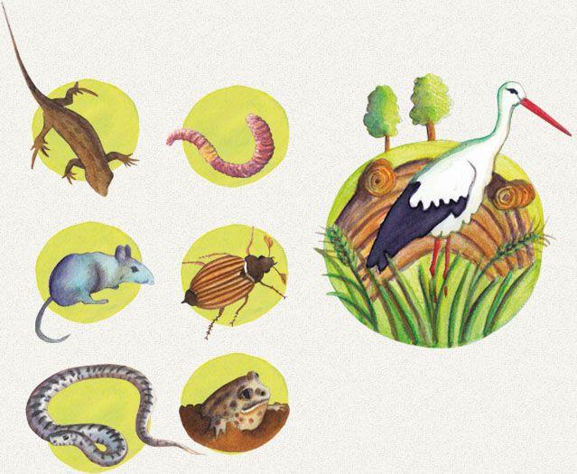Hol élnek a gólyák, és mit esznek?