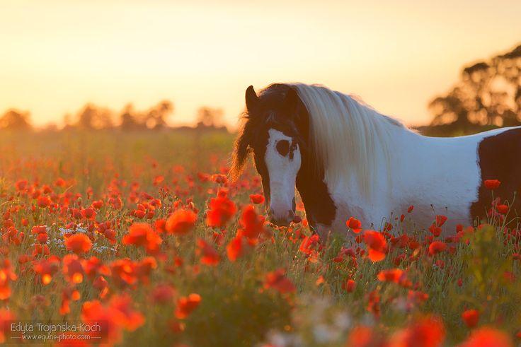 Gypsy cob stallion st sunrise among poppies