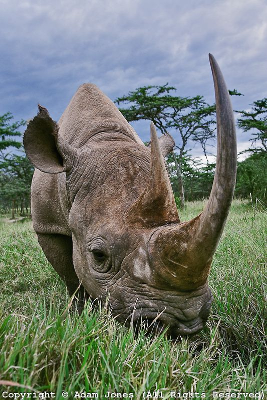 Black rhinoceros, Kenya, declared extinct in some areas of Africa - All rhinos are facing extinction due to poaching. The horns are worth more than their weight in gold. Warlords and poachers fueled by greed are slaughtering rhinos at a frightening rate.