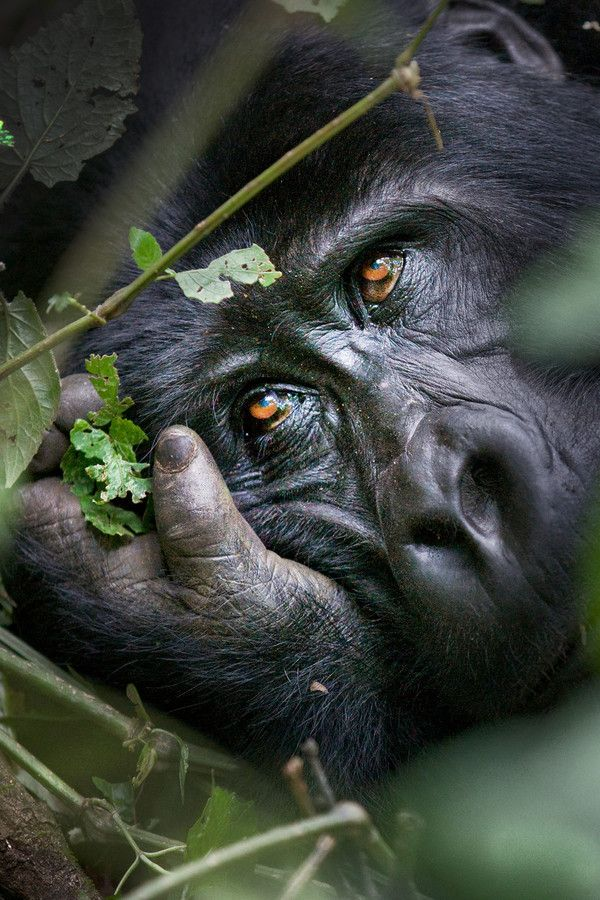 The most beautiful eyes. | Mountain Gorilla, Bwindi Impenetrable National Park, Uganda; photo by David Hobcote