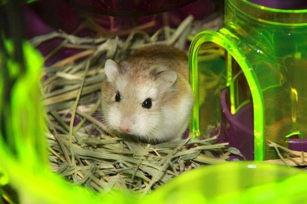 adorable Robo Dwarf Hamster!
