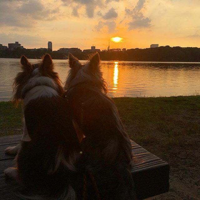 2017.7.13  福岡タワーと夕陽がすごく綺麗だった🌇  スマホで残念💧 * * * #夕陽#sunset#福岡タワー#チワワ#Chihuahua#chi#dog#dogslife#多頭飼い#愛犬#わんこ#犬バカ部#ロンチー#ふわもこ部#ちわすたぐらむ#犬との暮らし#family#love#kawaii#大好き#❤️#🐶#west_dog_japan#モデル犬