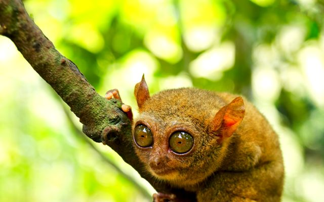 Did you know that the cute wide-eyed Tarsius are completely faithful and romantic animals? But don't be fooled by their adorable exterior, since these tiny creatures can be quite vicious when they are hungry. Want to know more? Come to the Tangkoko Nature Reserve near Bitung in North Sulawesi, habitat of these cuddly and faithful creatures. http://www.indonesia.travel/en/destination/point-of-interest/the-faithful-and-romantic-tarsius #WonderfulIndonesia
