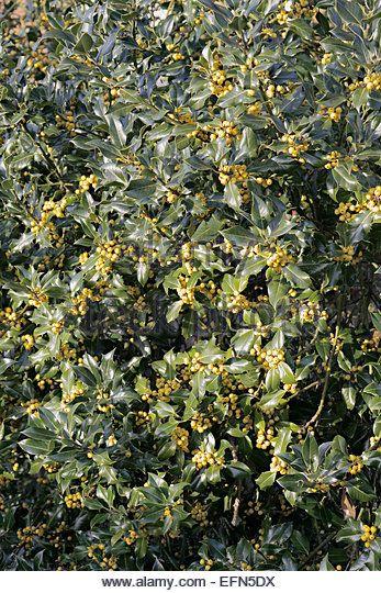 Ilex aquifolium 'Fructu Luteo' - Stock Image