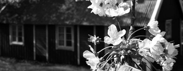 De där röda husen med vita knutar.. jag älskar dem. De finns lite här och var och när de finns på landet älskar jag dem som mest. En försommardag när körsbärsträden blommar.