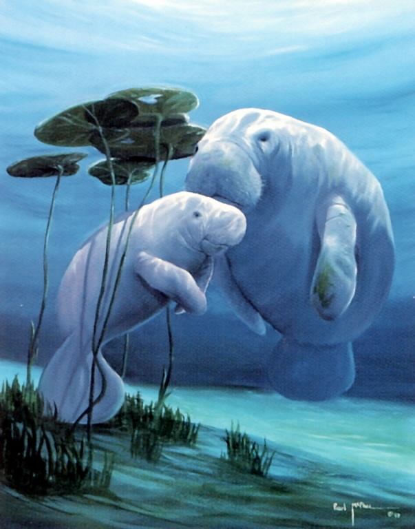 manatee pictures | Adopt a manatee as a gift – Animal Crazy – Orlando Sentinel