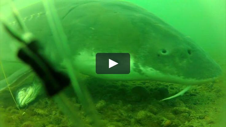 Fraser River White Sturgeon Under Water Footage