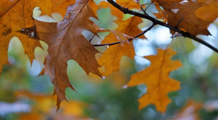 @fotografiesarina, fall, leafs, herfst, raindrop, rain, regen, foto, photo