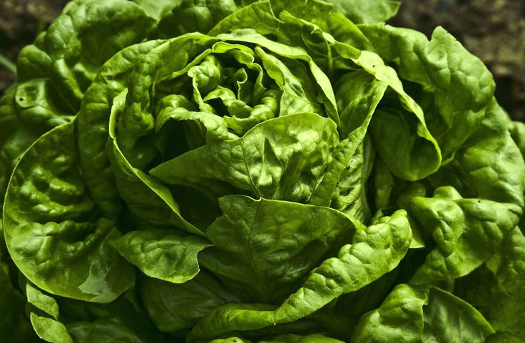 Nothing tastes better than crisp lettuce straight from the garden. But what happens when your lettuce comes out bitter tasting? Read this article to find out what causes bitter lettuce and what can be done about it.