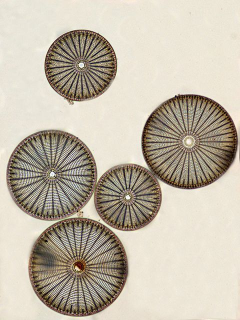 diatoms from small worlds ex | Flickr - Photo Sharing!