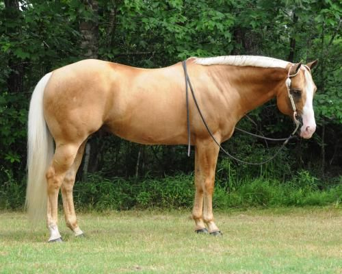 MACRITZ, Palomino American Quarter Horse Stallion in Texas. Palomino coloring is due to a cream dilution gene on a horse with a chestnut base coat & the resulting colors can range from a dark almost liver color to a creamy white all with a white mane & tail.