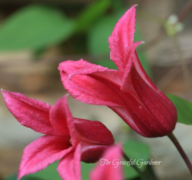 Clematis texensis 'Princess Diana' has stunning deep redish pink flowers.  The exquisite tulip-shaped flowers are a fine tribute to the late princess.