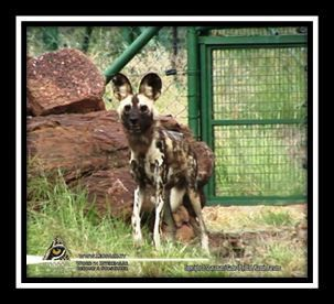 Doglike animals, which includes the wolves, jackals and foxes, occur in most parts of the world and the African wild dog is the southern ecological equivalent of the more northern wolf. Read more on www.leopard.tv #leopardtv #science #Africa