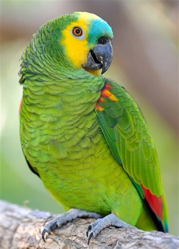 Blue-fronted Amazon | Product Code: BLUE-FRONTED-AMAZON