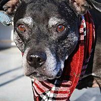 Livonia, Michigan - Pit Bull Terrier. Meet Sadie ♥, a for adoption. https://www.adoptapet.com/pet/20277248-livonia-michigan-pit-bull-terrier-mix