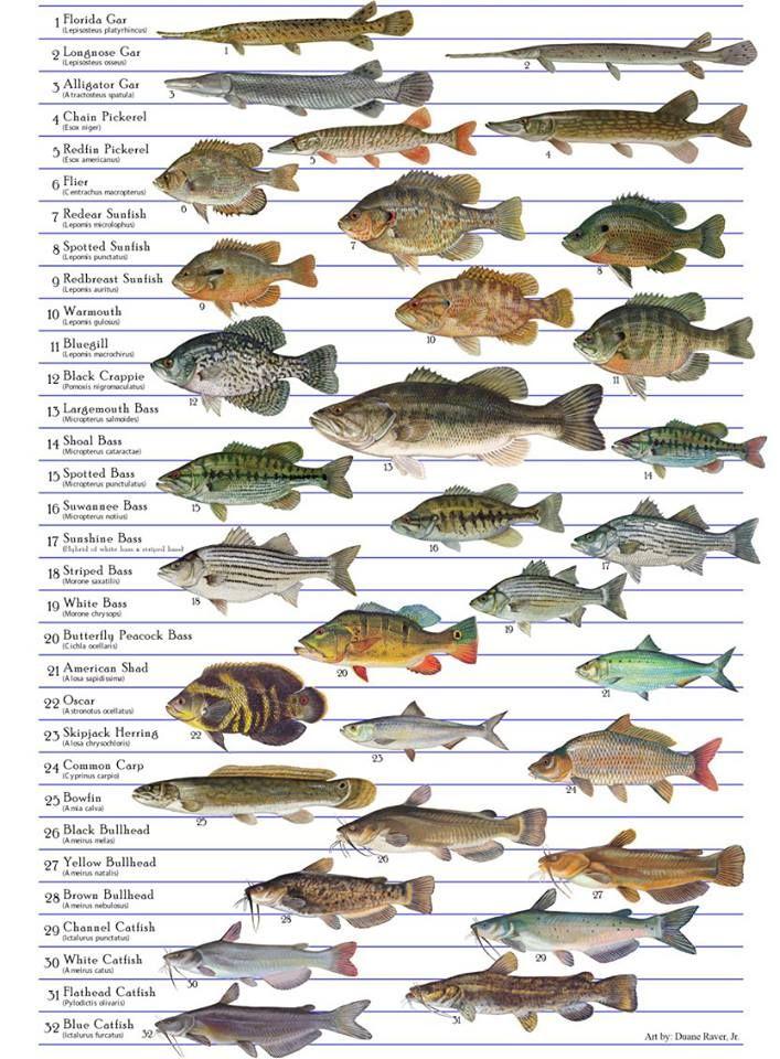 Freshwater fish chart massachusetts freshwater fish for Freshwater fishing in massachusetts