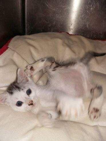 Cuccioli di gatto splendidi in regalo